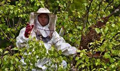 Biobauer Drago beim Einfangen eines Bienenschwarms!