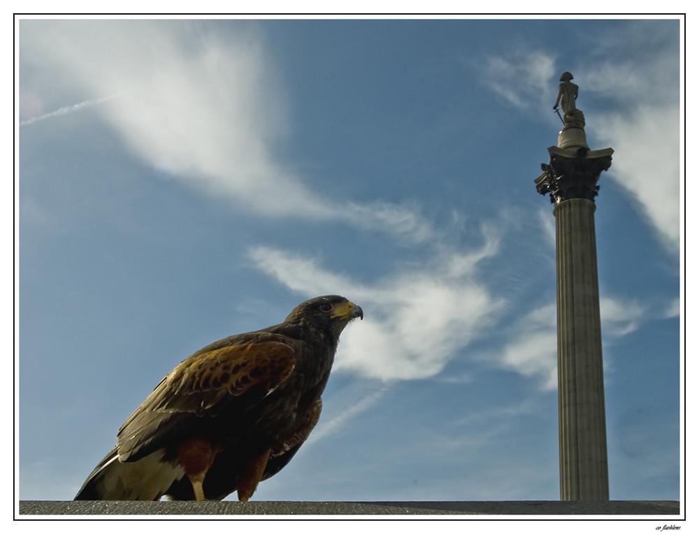 Biologische Taubenbekämpfung a la London