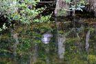 Biotop von Alligatoren, Everglades, Florida, USA