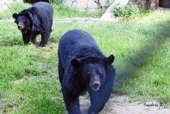 Biotop Wildpark Anholt - Kragenbären