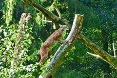 Biowildpark Aholt - Luchs - entschließt sich doch, auf den Baum zu klettern