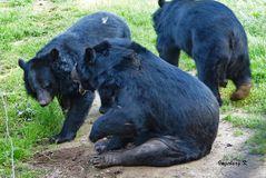 Biowildpark Anholg - Streit unter Kragenbären