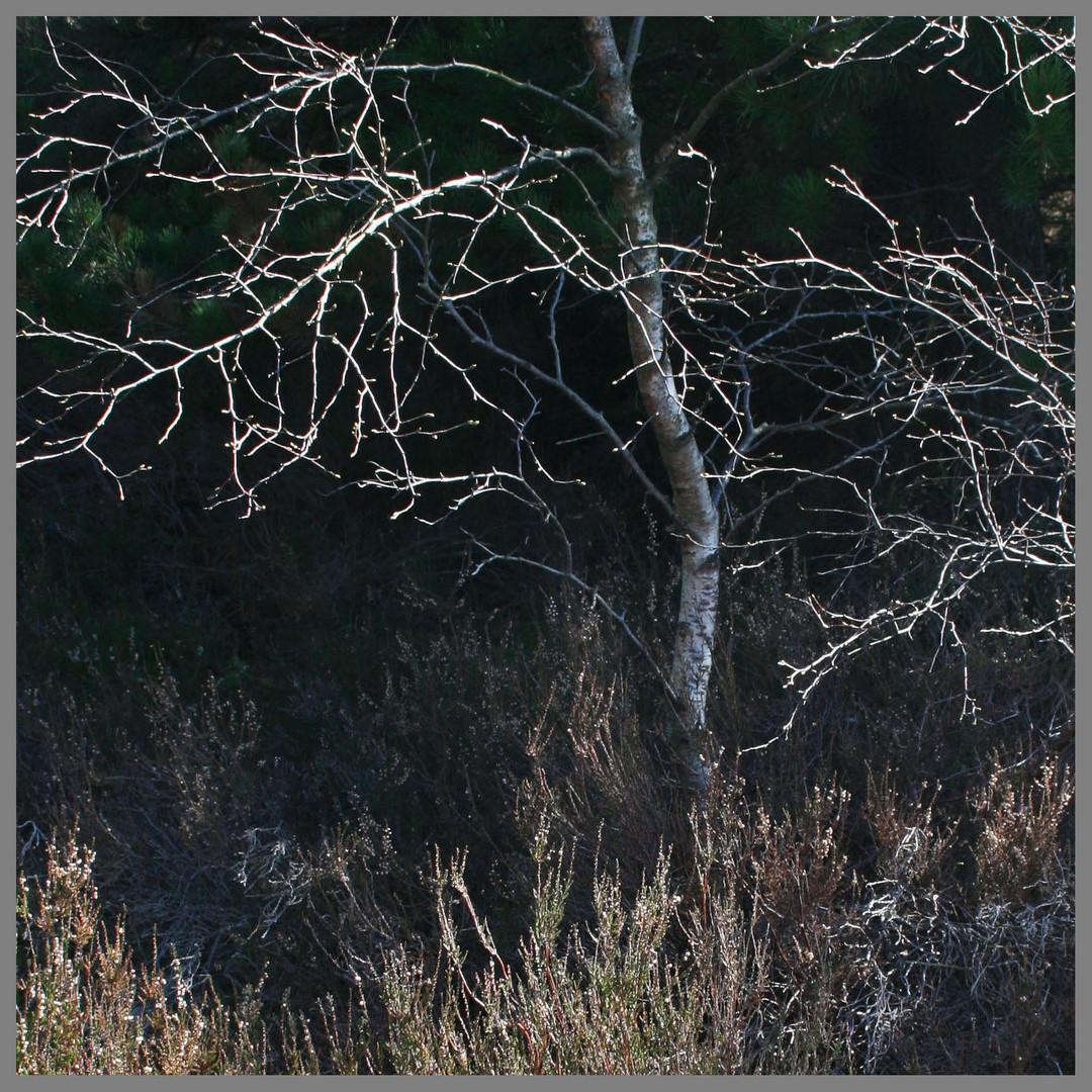 birch tree Kielder Forest