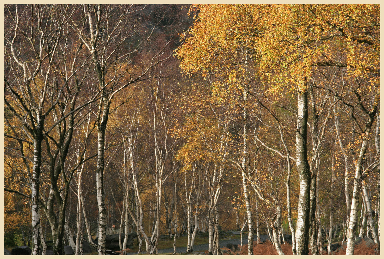 Birch trees colonising tilberthwaite quarry 6