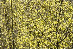 _birches