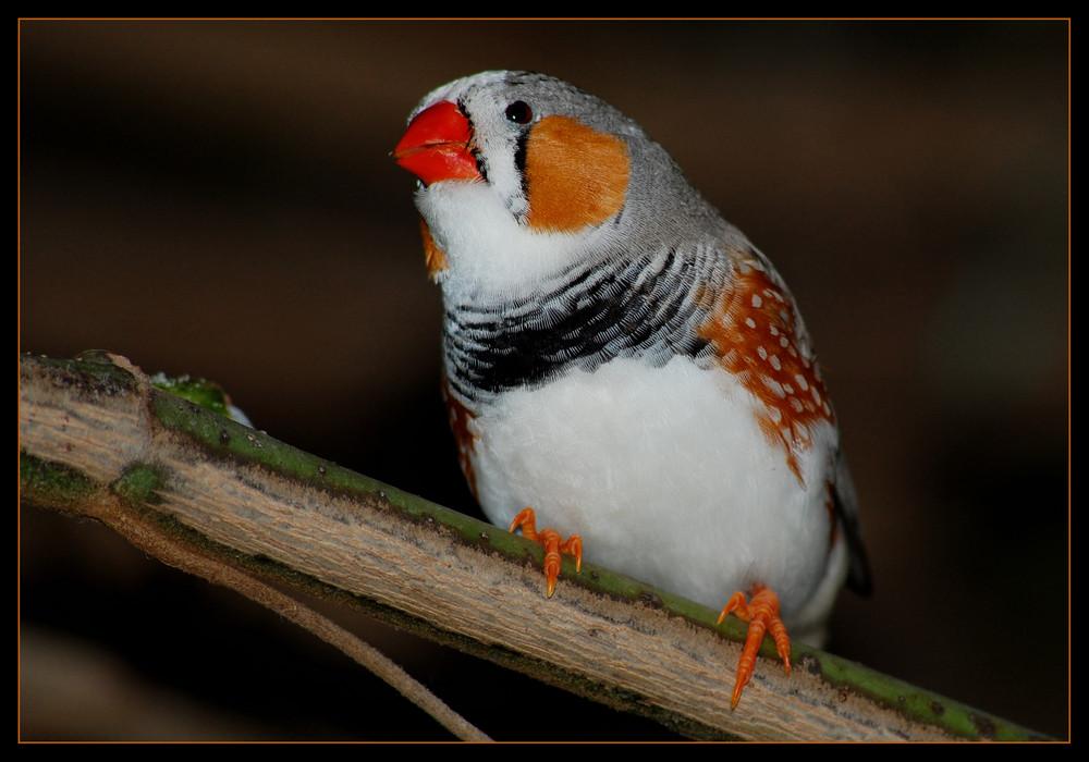 Bird of paradise *
