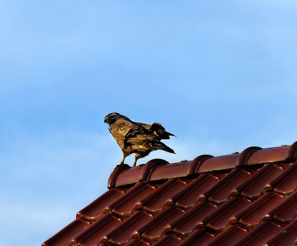 Bird of prey on the roof