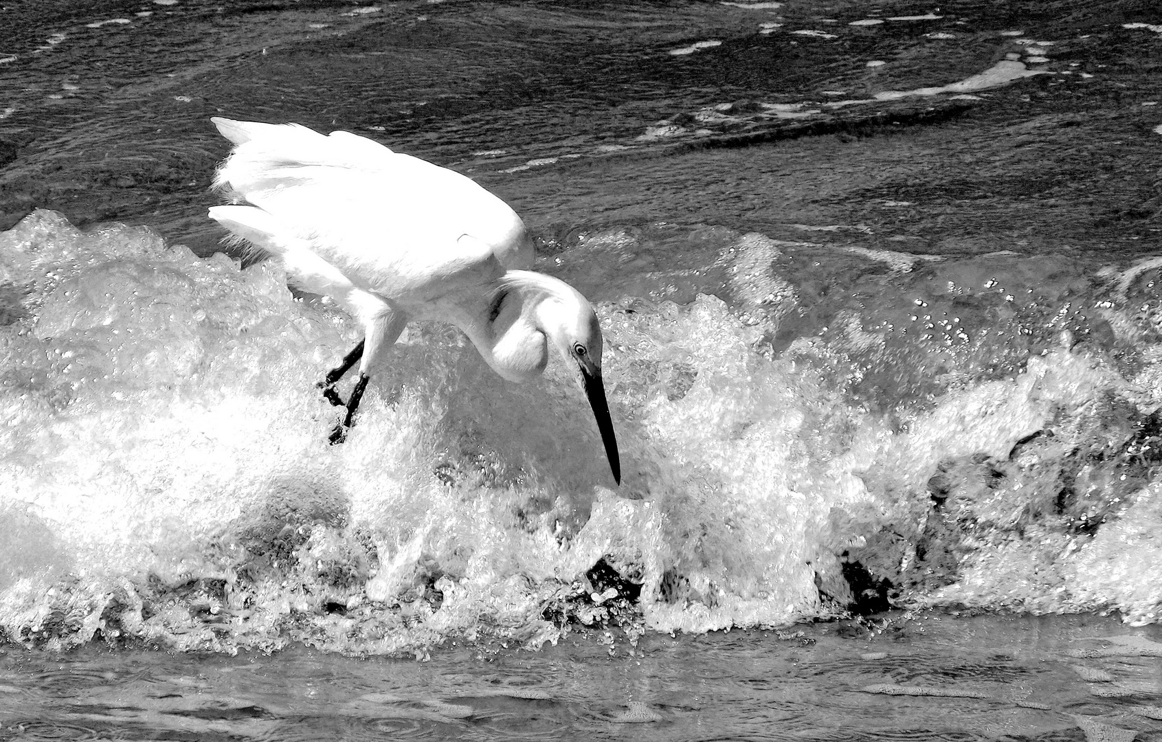Bird Surfing BN