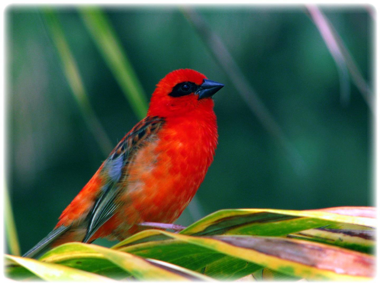 BIRDS FROM MAURITIUS Photo & Image