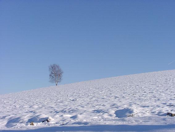 birke allein im schnee