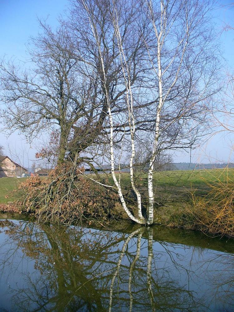 Birke am Teich