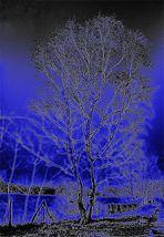 Birke im fahlen Licht der Wintersonne