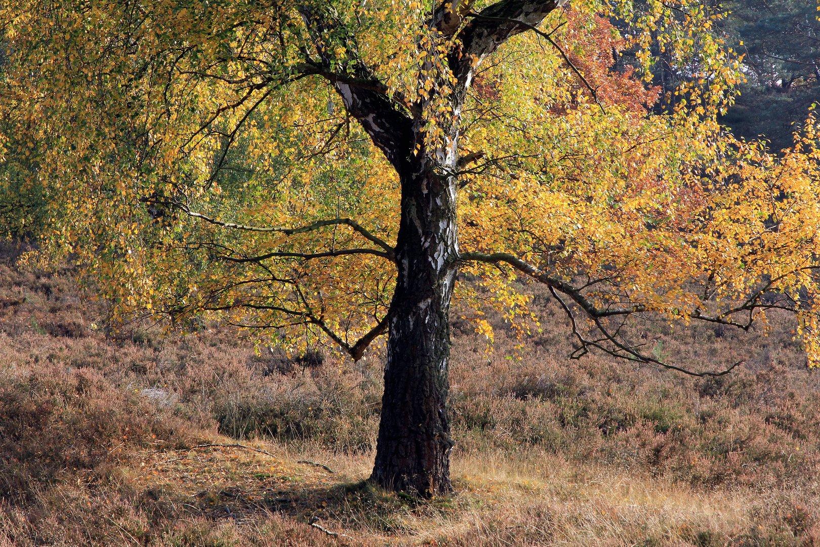 Birke im Herbstlicht...