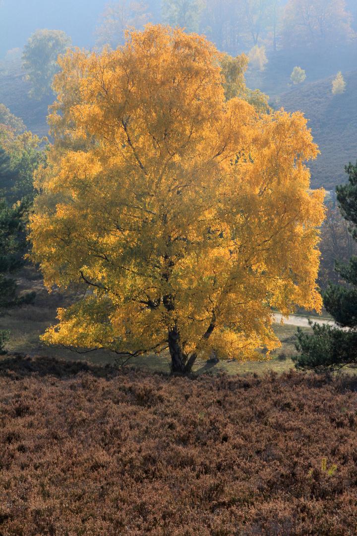 Birke im Herbstlicht in der Heide...