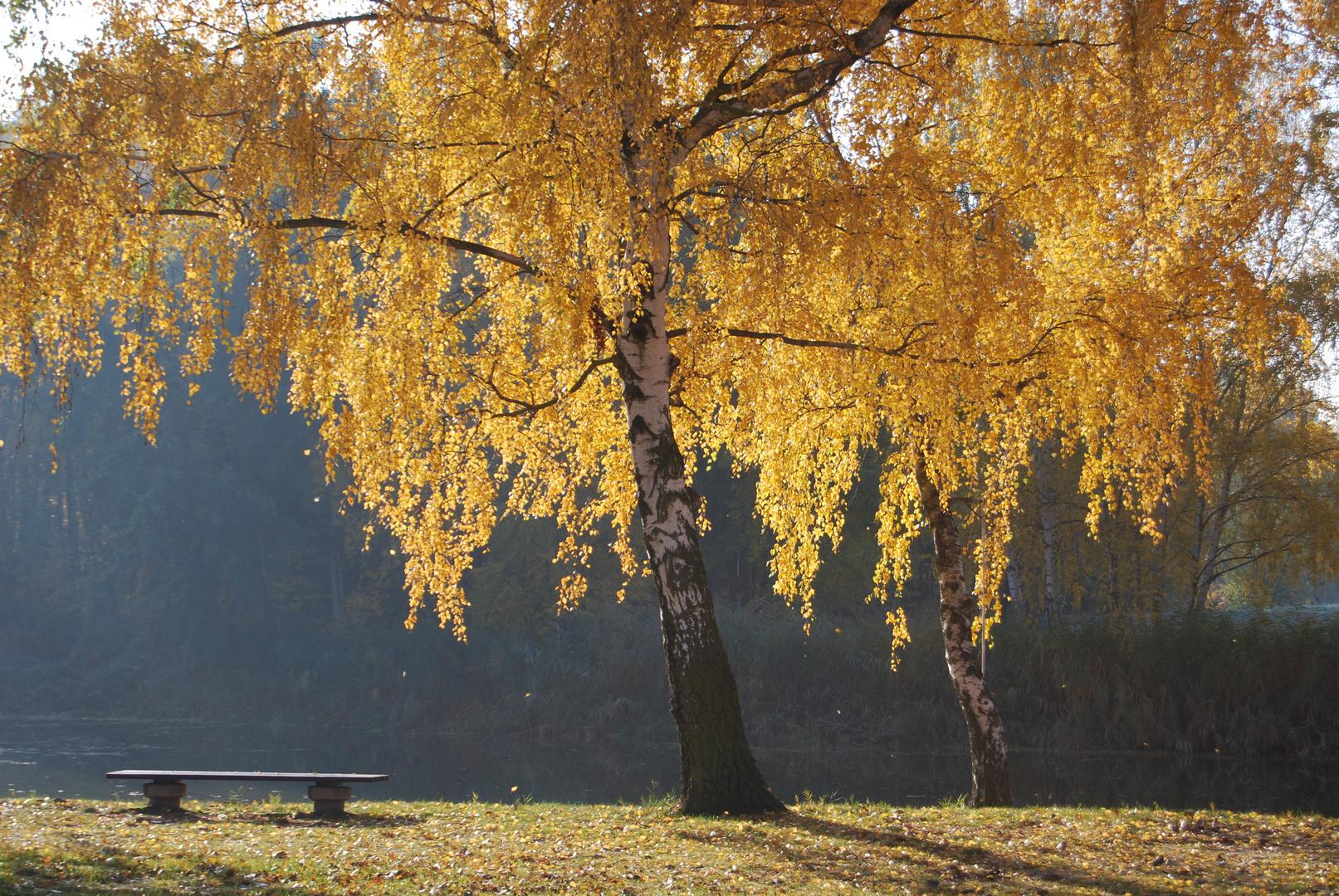 Birke im Herbstwind