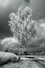 Birke im Wind