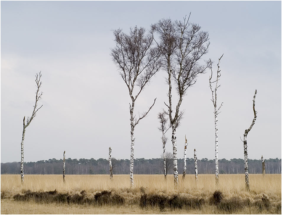 Birken auf der Heide