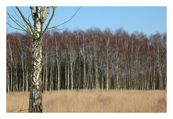 Birken im Butterbargsmoor