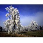 Birken im Frost