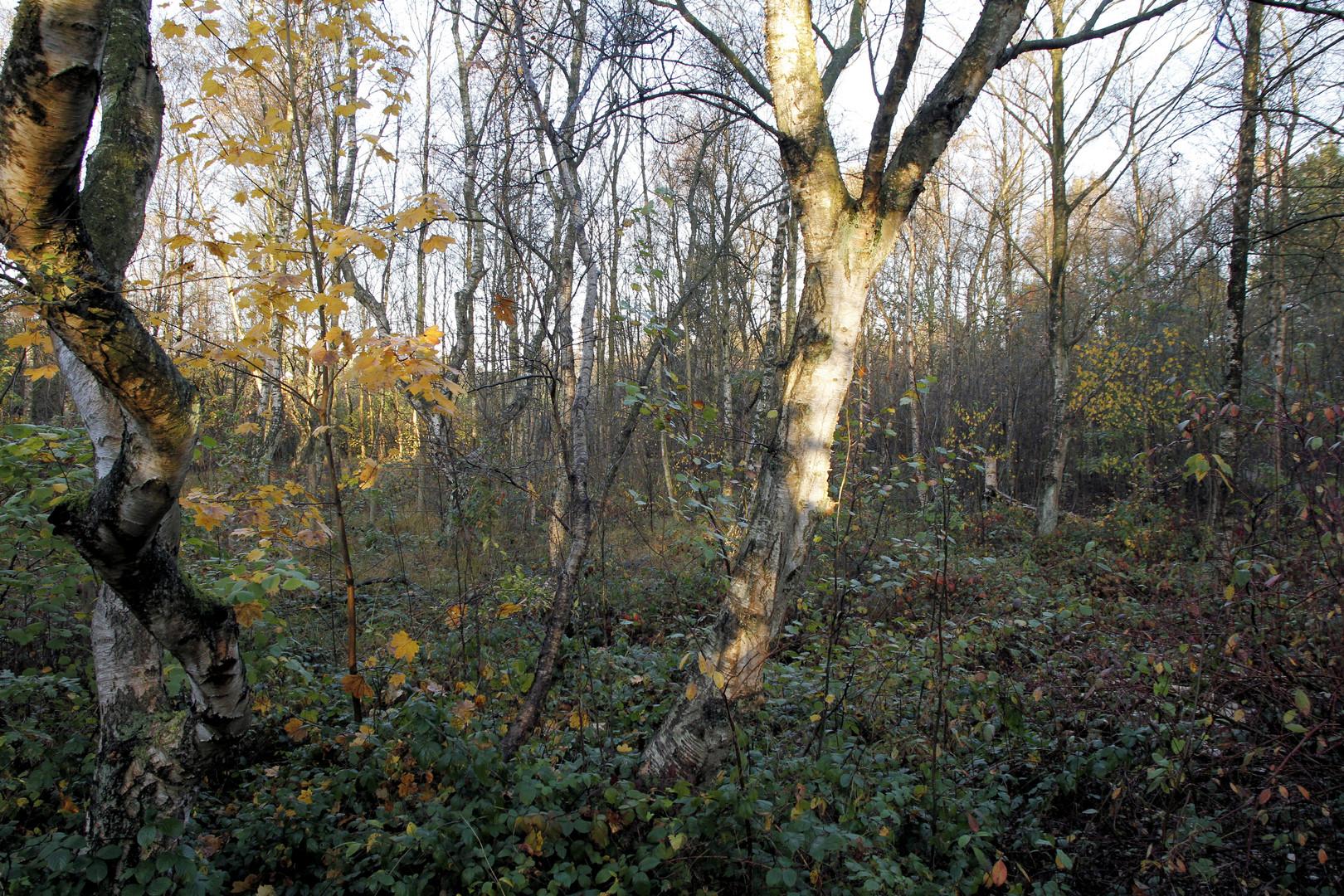Birken im Herbst im Morgenlicht