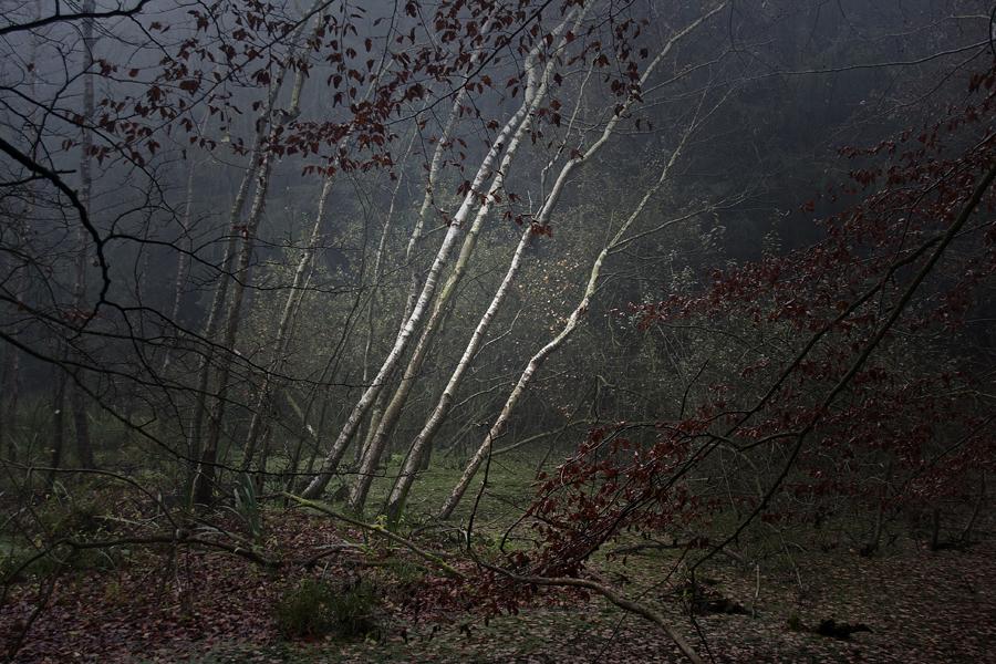 Birken im Moor