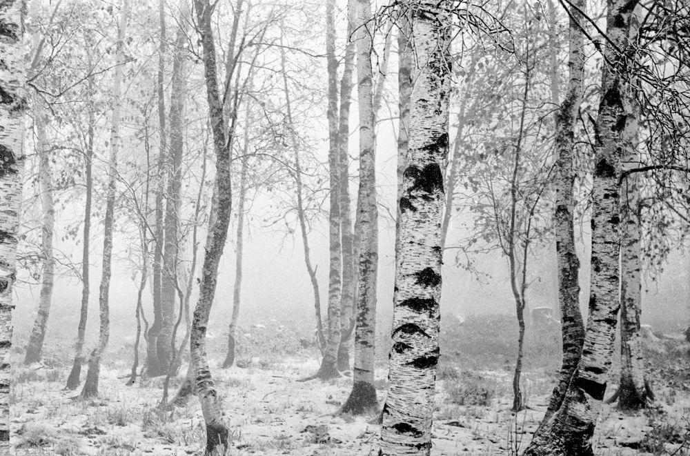 Birken-Neuschnee