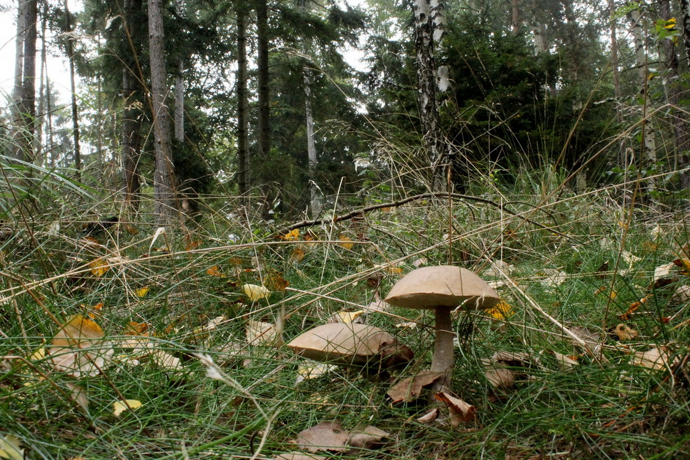 Birken - Pilze