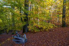 Birken und Buchen im Herbst
