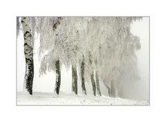 birken verlieren sich im nebel