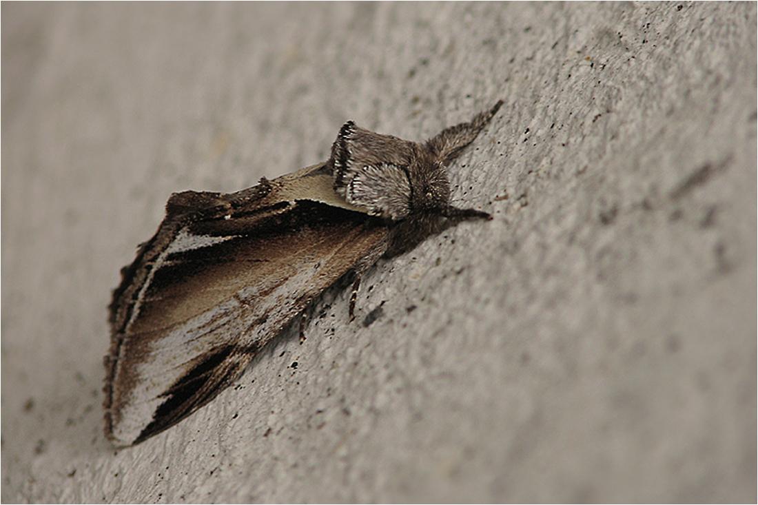 Birken-Zahnspinner