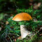 Birkenrotkappe im Walde