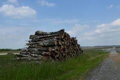 Birkenstämme im Randgebiet des Hochmoores