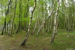 Birkenwäldchen im Frühling