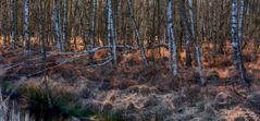 Birkenwäldchen im Moor