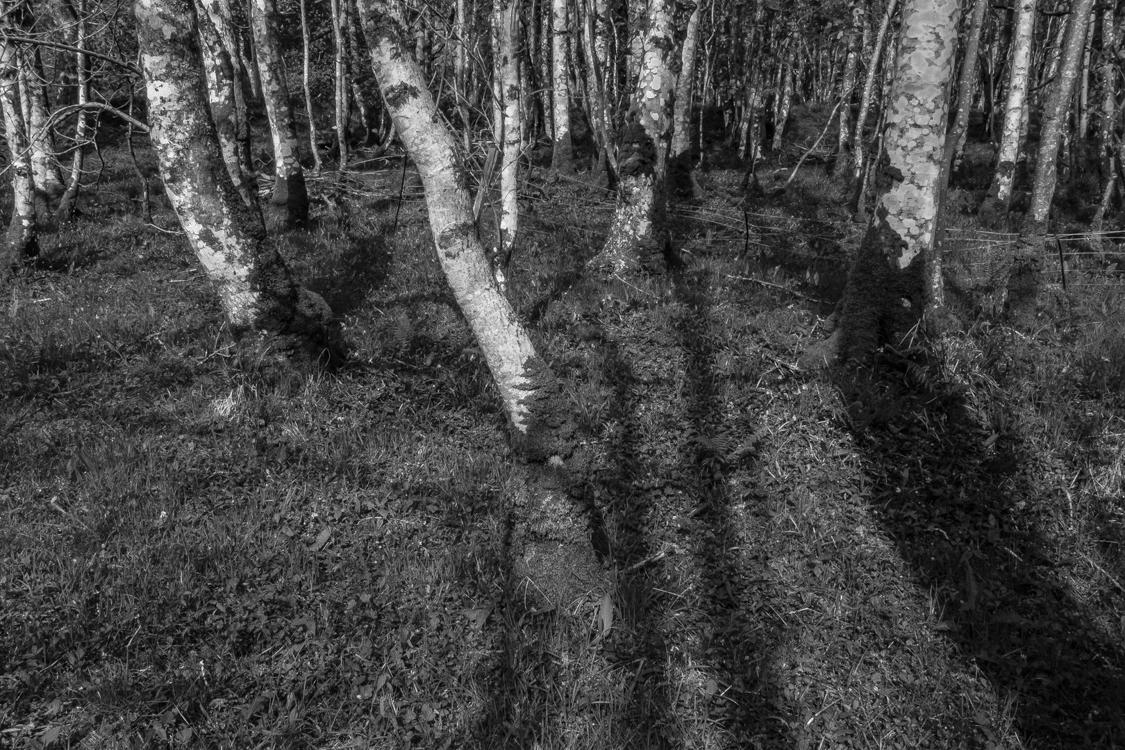 Birkenwald am Loch Crinan