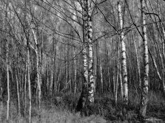 Birkenwald im Februar
