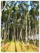 Birkenwald in Schonen (Schweden)