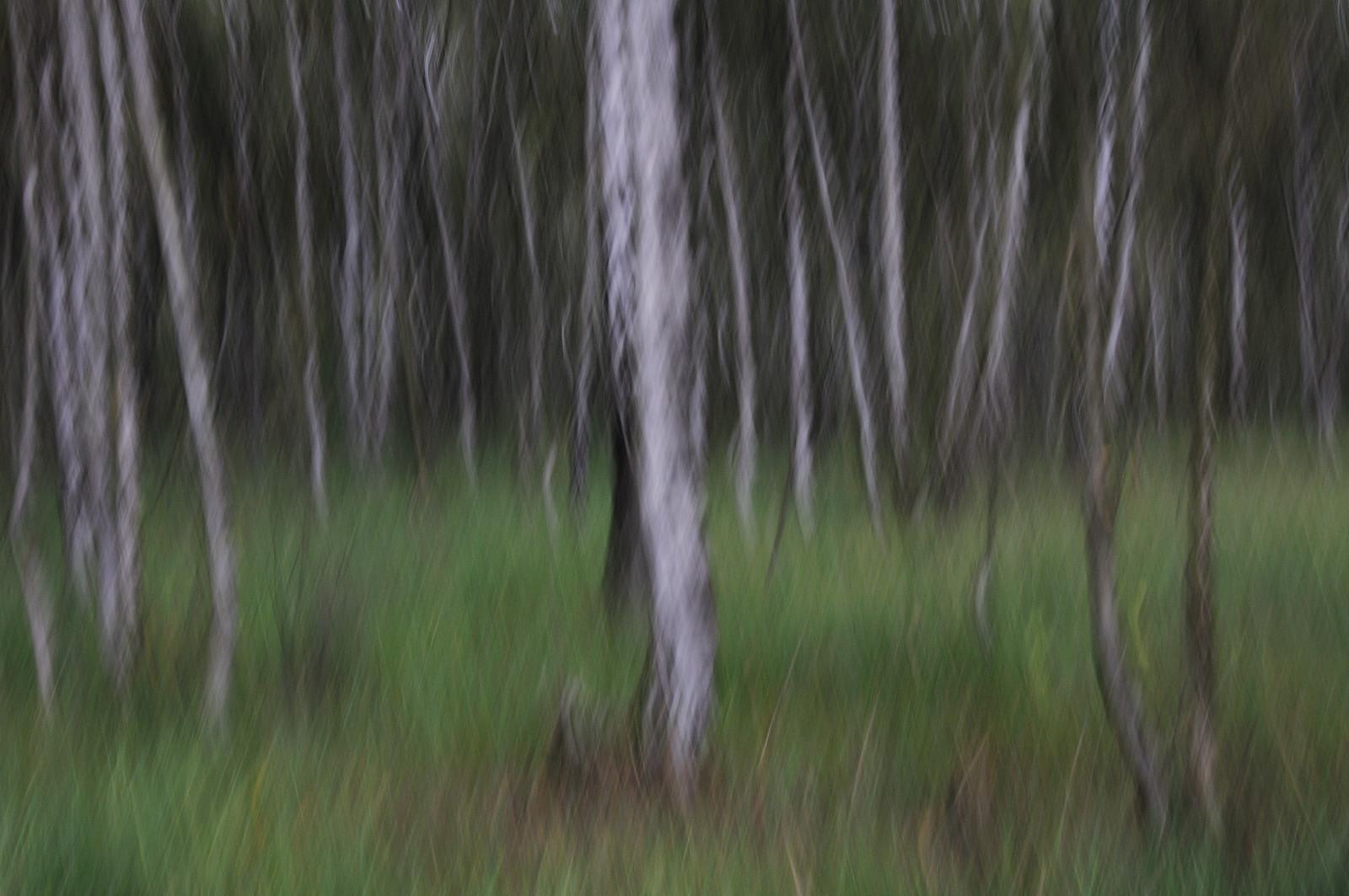 """Birkenwald """"wie gemalt"""""""