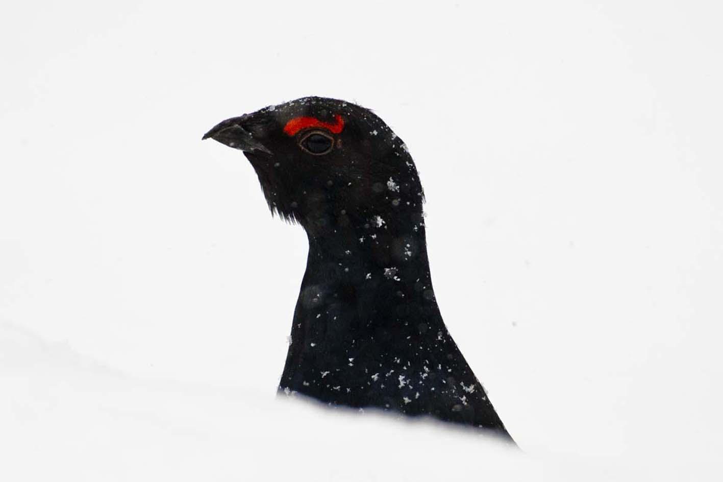 Birkhuhn im Schnee
