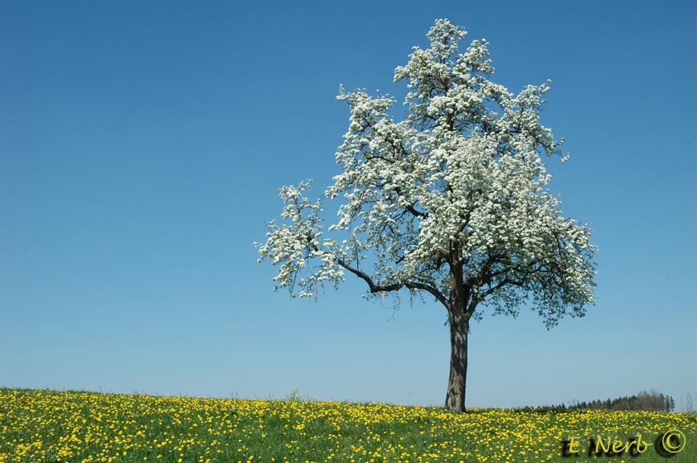 Birnbaum Foto & Bild | jahreszeiten, frühling, natur
