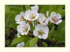 """Birnbaum-Blüten"""