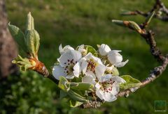Birnbaum, frisch aufgeblüht