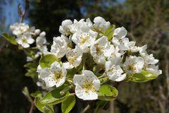 Birnbaumblüte im Frühling