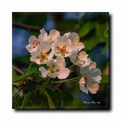 Birnbaumblüten im Abendlicht.