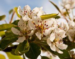 Birnblüte im Garten
