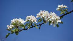 ' Birnblüten '