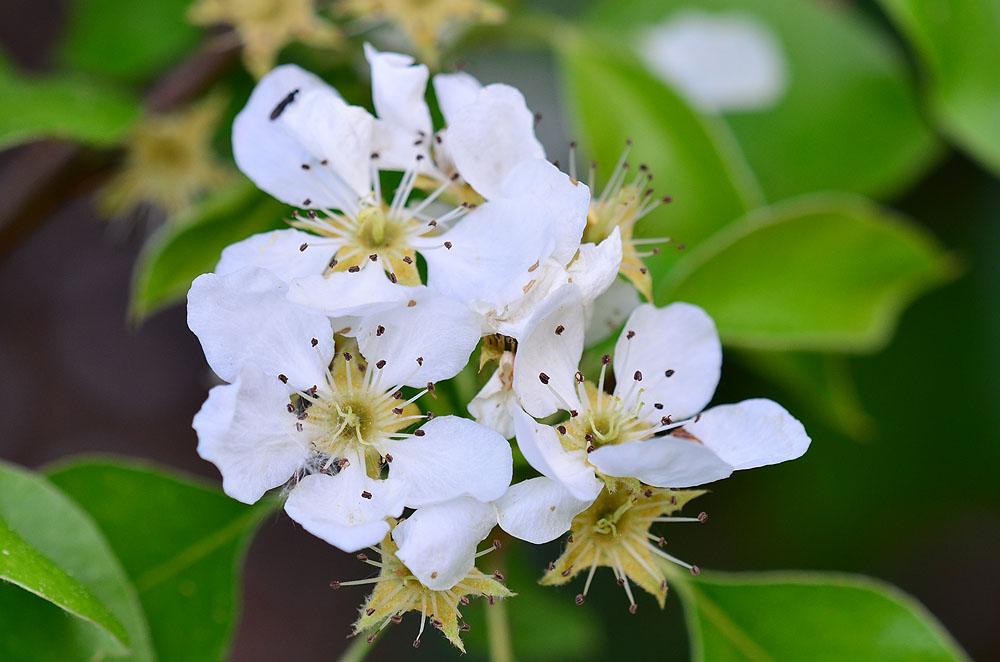 Birnenblüte in Nachbar's Garten