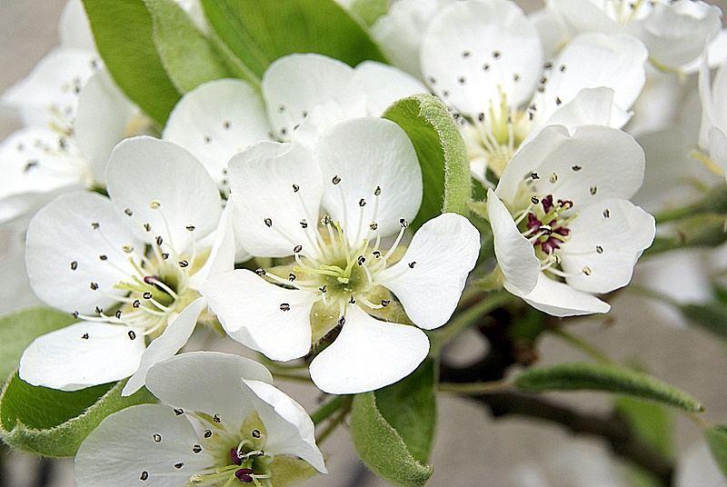 Birnenblust im Garten am 13.4.07
