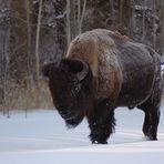 Bison im Winter (-20° Celsius)