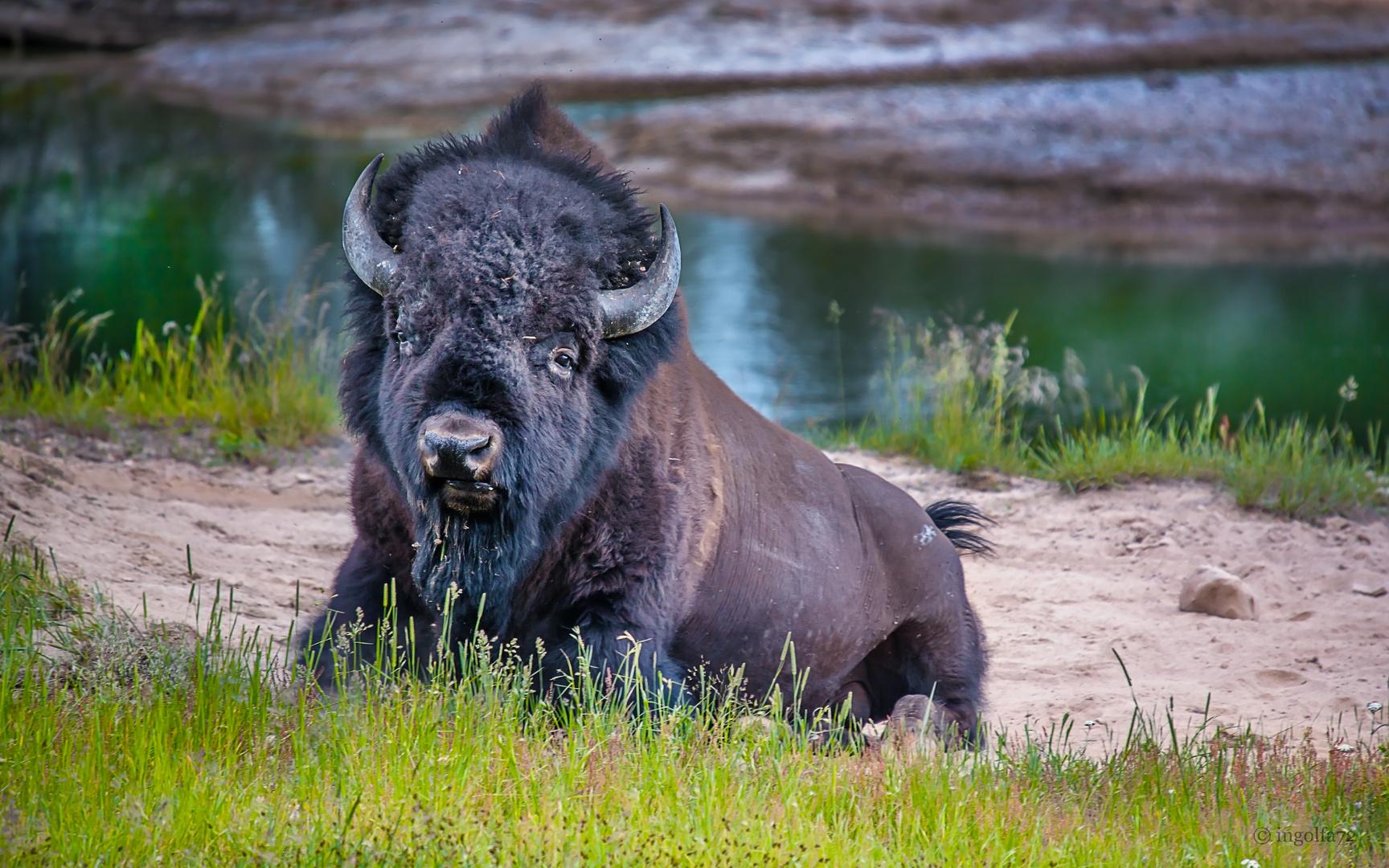 """Bison im Yellowstone"""